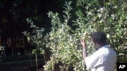 Growing fruit trees in Africa
