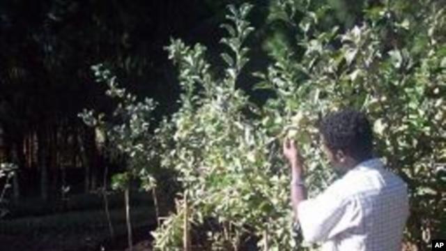 Growing fruit trees in Africa