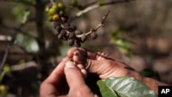 Helping Latin America Protect Its Coffee Crops