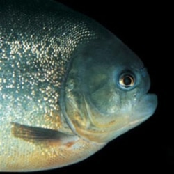 A red-bellied piranha