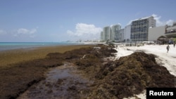 Sargassum algae is seen at Gaviota Azul beach in Cancun, Mexico, July 17, 2015.