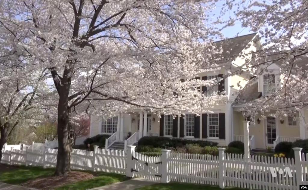 华盛顿郊区Chevy Chase的一个有1000多棵樱花树的安静社区肯伍德 ,樱花争美斗艳,吸引了来自世界各地的游客。
