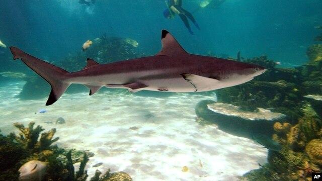 Ảnh minh họa: Một con cá mập bơi trong Vịnh Cá Mập ở miền tây Australia.