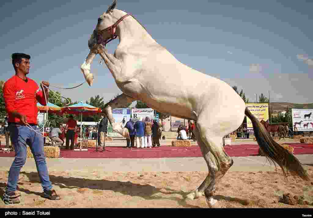جشنواره اسب اصیل ترکمن در خراسان شمالی عکس: سعید طلوعی