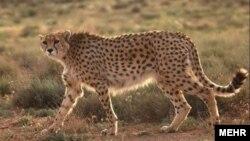 عکسی از یک یوزپلنگ ایرانی