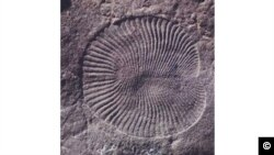 Dickinsonia - Discovery by UC Riverside researchers which is extremely well preserved.
