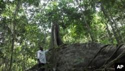 Gerald Mukisa travaille dans la forêt Zika en Ouganda, le 28 janvier 2016. (AP Photo/Stephen Wandera)
