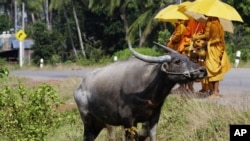 Cambodian Buddhist monks wait for collecting alms from devotees near a water buffalo in Sre Ambel village, in Koh Kong province, about 125 kilometers (77 miles) southwest of Phnom Penh, Cambodia, Wednesday, Aug. 3, 2011. (AP Photo/Heng Sinith)
