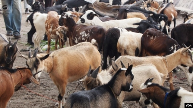 DRC herdsmen are losing their goats to a disease Ovine rinderpest. Authorities say about 25,000 goats have died of the disease and another 5,000 from infected herds have been slaughtered during the past six months, May 19, 2012. (N. Long)