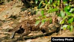 Kucing Bakau di hutan mangrove Wonorejo, Surabaya (Foto courtesy: Agus Azhari-WFS).
