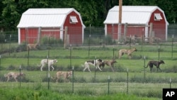 FILE - Greyhounds run in their pens at Alan Hill's kennel, May 26, 2006, near Radcliffe, Iowa.