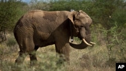 A male elephant stands up wearing a newly-fitted GPS-tracking collar around his neck, during an elephant-collaring operation near Kajiado, in southern Kenya Tuesday, Dec. 3, 2013. Teams from the Kenya Wildlife Service (KWS) and the International Fund for