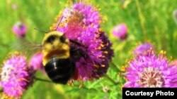 FILE - The rusty-patched bumblebee, shown in this undated file photo, has been added to the U.S. endangered species list. (Fish and Wildlife Service)
