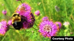 The rusty-patched bumblebee has been added to the US endangered species list. (Fish and Wildflife Service)
