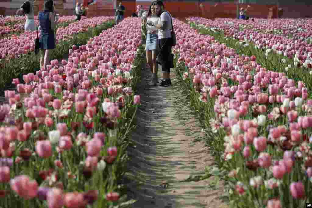 باغهای لاله در هالند یکی از جاذبه های گردشگری آن کشور است.