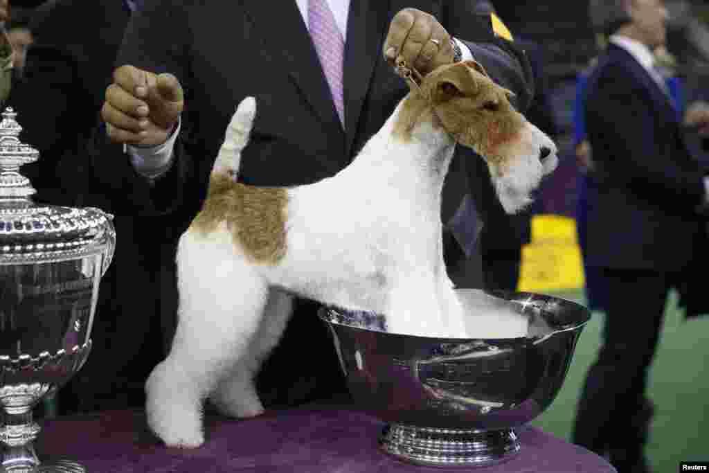 Sky, uma wire fox terrier, pendura-se no troféu que ganhou no 138º Concurso Canino Westminster no Madison Square Garden, Nova Iorque, Fev. 11, 2014.