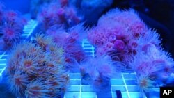 FILE- A rare species of Hawaiian coral being used to create a seed bank grows in a tank at a coral nursery in Honolulu. The start of the International Coalition for the Conservation of Nature World Conservation Congress, which is being held in the U.S. fo