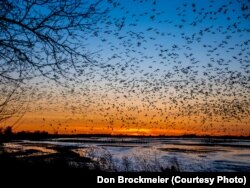 FILE - Sandhill cranes fill the skies at sunset, descending to their roost on the river where they are protected from predators.