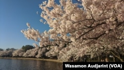 Cherry Blossoms reach their peak bloom at Tidal Basin, Washington D.C.