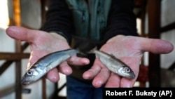 A lack of ice in cold weather states this year has made it difficult for scientists to study the rainbow smelt population. (AP Photo/Robert F. Bukaty, files)
