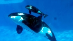 Valentine's Day Ushers in a Baby Killer Whale at SeaWorld San Diego