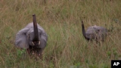 FILE - A mother and baby elephant forage in the rain forest in Lope Reserve, Gabon, July 4, 2001.