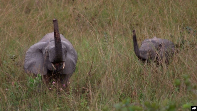 FILE - A mother and baby elephant forage in the rain forest in Lope Reserve, Gabon, July 4, 2001. Over 30 years the population of forest elephants has dropped from a million to 100,000.