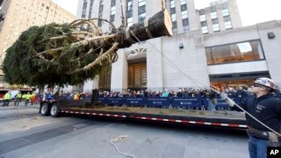 New York City S Rockefeller Center Christmas Tree Raised