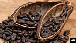 Scientists have unraveled the genetic code of chocolate, which could lead to an improved yield for farmers worldwide whose livelihoods depend on seeds from the cacao tree.