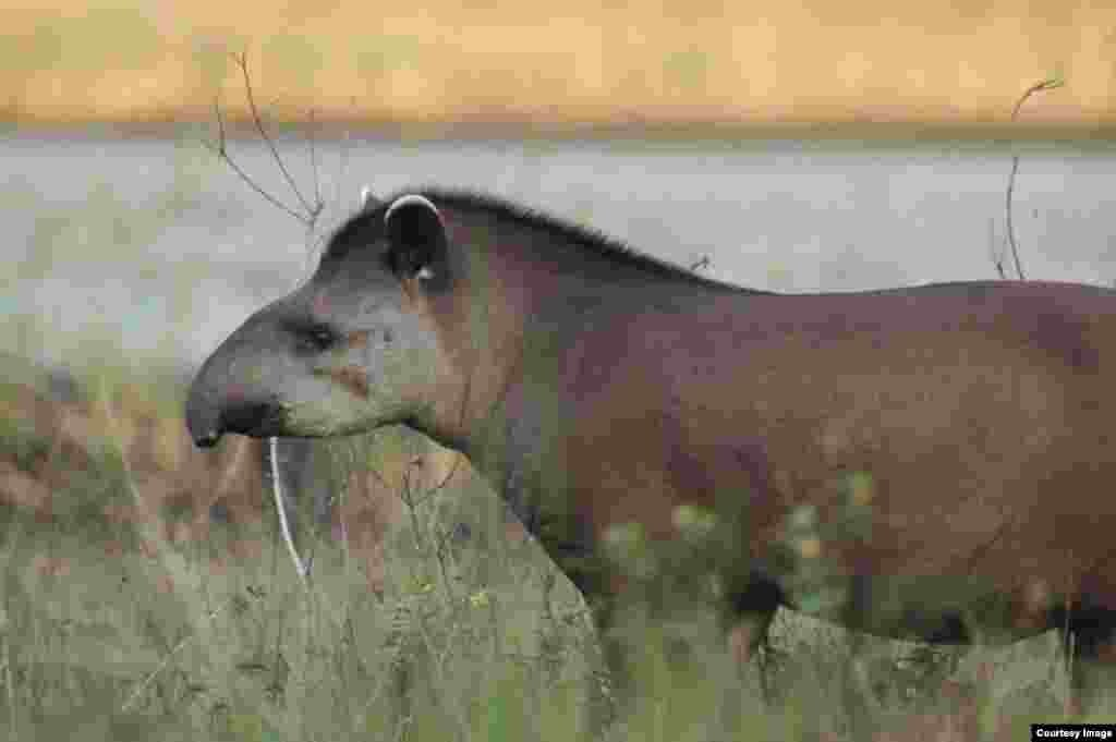 Large mammals such as the tapir are the first to disappear in human-modified ecosystems. (Mauro Galetti)
