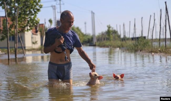 中国山东寿光遭洪水袭击后一名男子在泛滥的街上趟水而过,身后跟着两只小猪。(2018年8月23日)