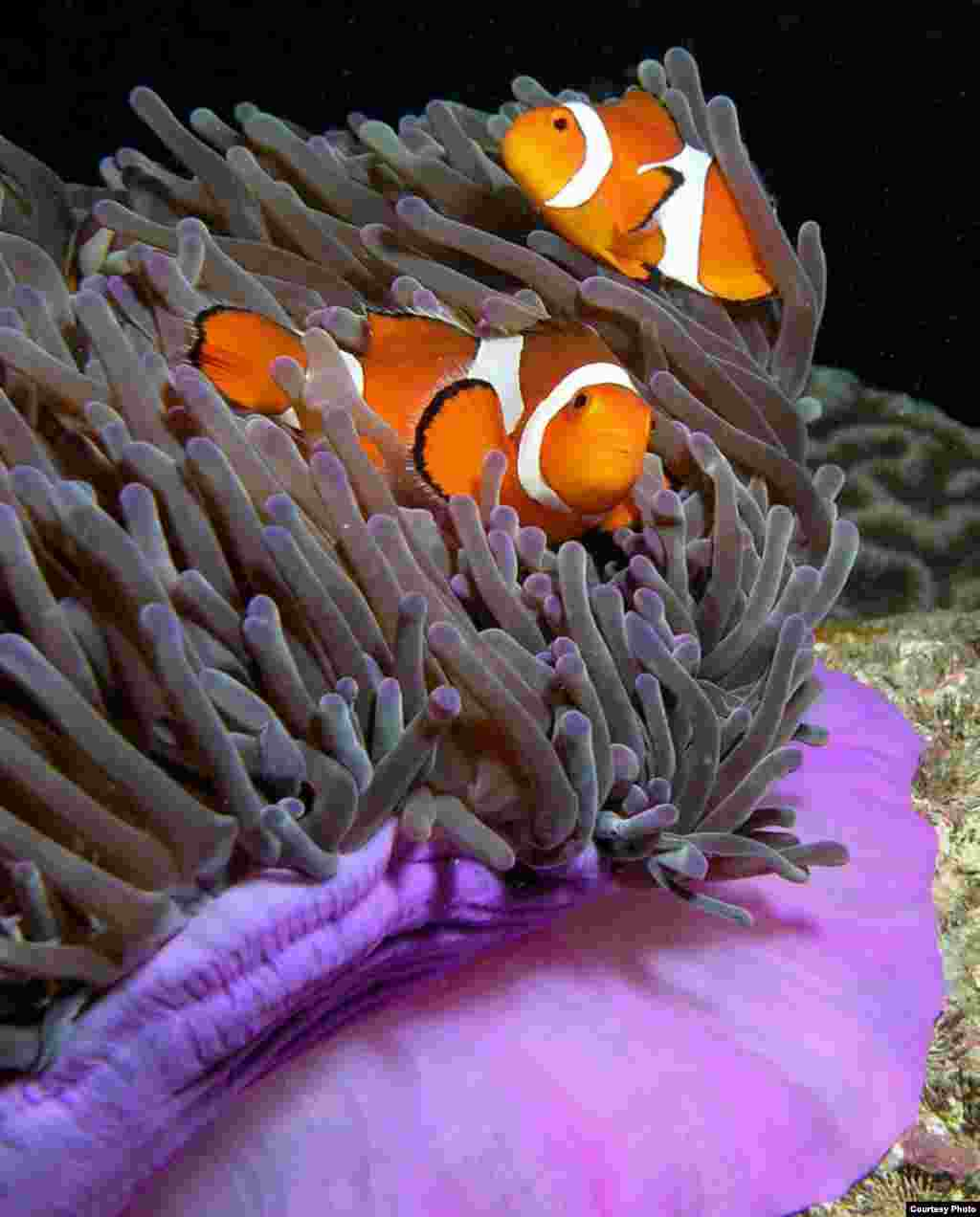 "The famous clown fish from the movie ""Finding Nemo"" all start life as males. Only the biggest clownfish in an anemone is a female, and if she disappears, the biggest male turns into a female and takes up her role of egg-layer. (Nick Hobgood, Wikimedia Commons)"
