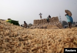 FILE - Laborers stack sacks filled with paddy crop at a wholesale grain market in Chandigarh, India, Oct. 14, 2015.