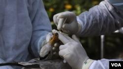 Para ilmuwan melakukan penelitian flu burung terhadap seekor burung yang terbang lintas negara (foto: ilustrasi). Jumlah kasus virus flu burung di Indonesia mencapai 191 kasus dengan 159 jumlah kematian sejak tahun 2005.