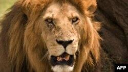 Con số sư tử châu Á tại Ấn Độ gia tăng