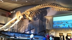 The main room of the Whaling Museum in Nantucket contains a whaleboat and a skeleton of a sperm whale