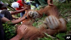 Program Konservasi Orangutan Sumatera (SOCP) memeriksa orangutan yang terluka awal tahun ini di Aceh. (Foto: Dok)