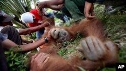 Indonesian veterinarian Yenni Saraswati, top center, of Sumatran Orangutan Conservation Programme (SOCP) examines the condition of an injured Sumatran orangutan found by environmental activists at a palm oil plantation in Rimba Sawang village, March 1, 2012.
