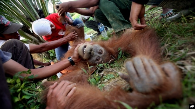 Indonesian veterinarian Yenni Saraswati, top center, of Sumatran Orangutan Conservation Programme (SOCP) examines the condition of an injured Sumatran orangutan found by environmental activists at a palm oil plantation in Rimba Sawang village, March 1, 2012.