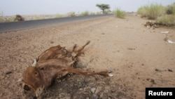 지난해 5월 극심한 가뭄이 발생한 아프리카 모리타니의 한 마을에 소가 죽어있다. (자료사진)