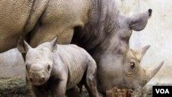 Según IUCN, el rinoceronte de Java ('Rhinoceros sondaicus') va por el mismo camino, que el rinoceronte negro.