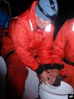 NOAA biologists, including Tiffanie Cross, coax a common murre into regurgitating its dinner of forage fish.