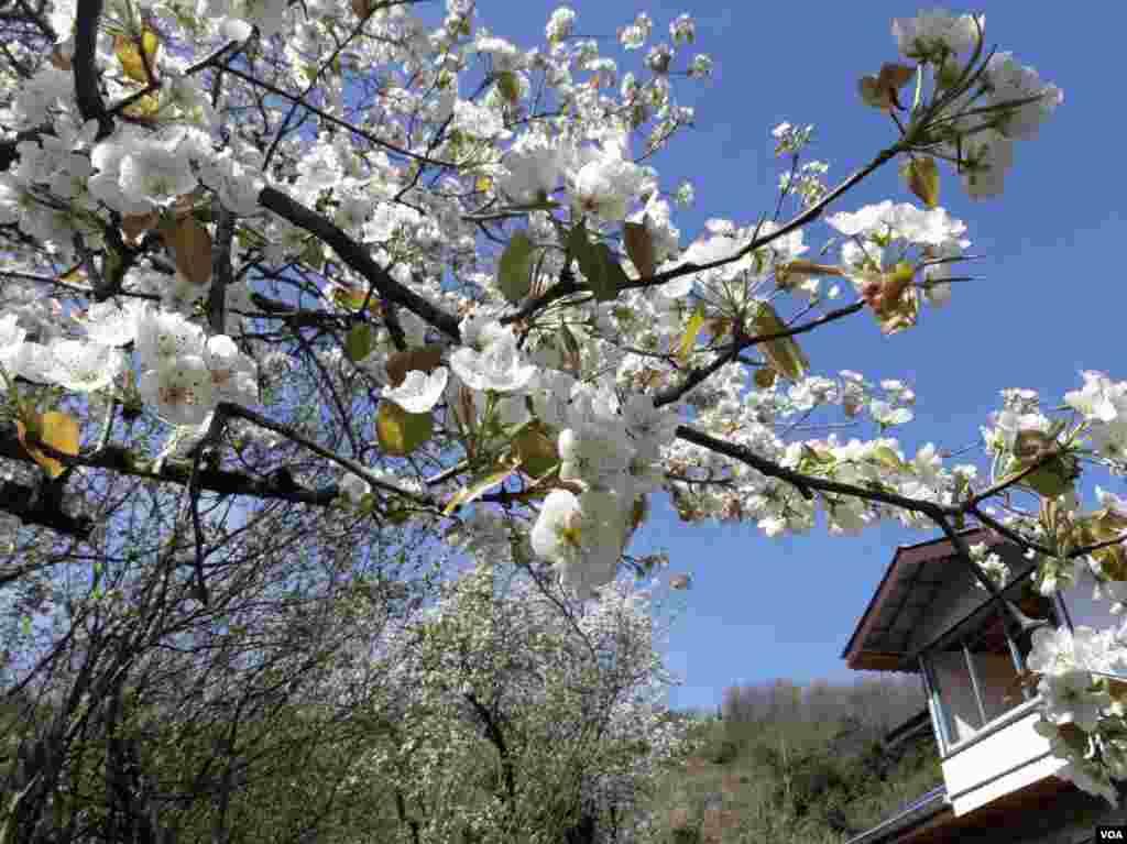 درختان گلابی روستای هلوسرا بخش رانکو- شهرستان املش گیلان عکس: ناصر (ارسالی شما)