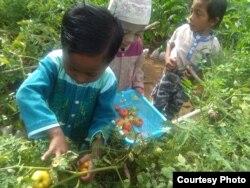 Tiga orang anak melakukan kegiatan memetik buah tomat dari hasil kegiatan pertanian permakultur di desa Boyomoute, Kabupaten Bangkep, Sulawesi Tengah. (Foto: Ichonk/ Perkumpulan Salanggar)