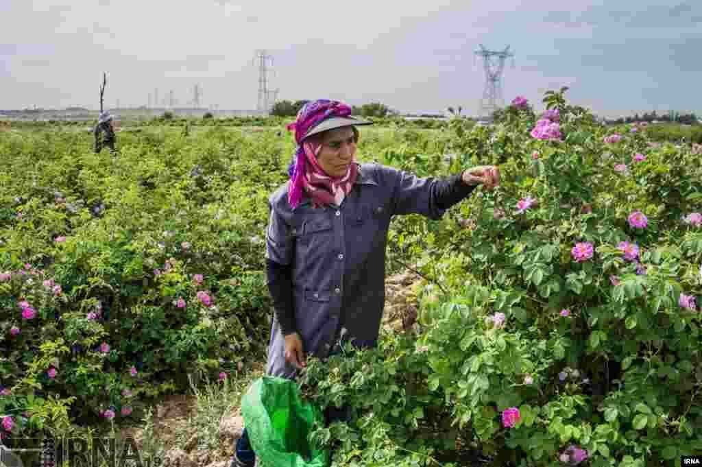 برداشت گل محمدی در روستای «فرخد» در اطراف مشهد کس: عطا رنجبر