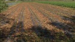 Obrane jagode u Goraždevcu