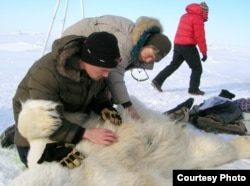 University of Wyoming researchers John Whiteman and Merav Ben David inspect a temperature logger implantation site on a polar bear on offshore sea ice north of Prudhoe Bay, Alaska, in April 2009. (Credit: Mike Lockhart)