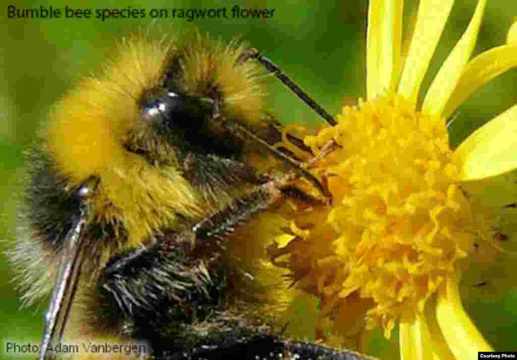 Di wilayah-wilayah beriklim sedang di dunia, lebah bumble bee merupakan penyerbuk penting untuk bunga liar, memindahkan serbuk sari dan membantu menjamin populasi tanaman yang secara genetis beragam. (Foto: Adam Vanbergen)