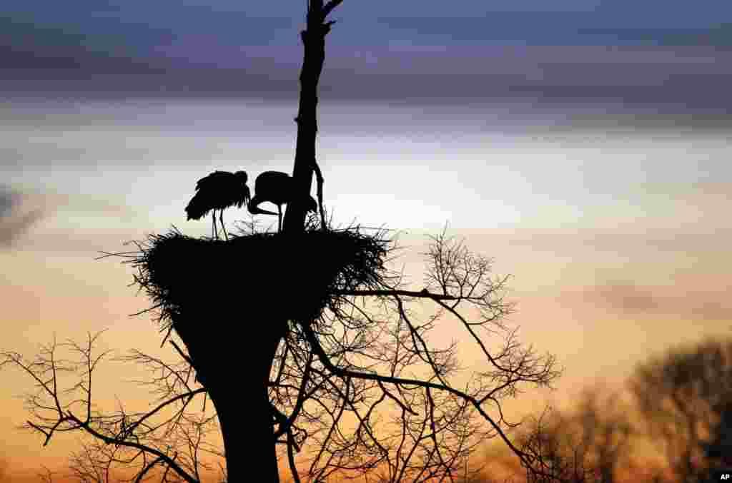 Dua burung bangau menjaga sarangnya saat matahari terbit di desa Vereskovo, sebelah barat Minsk, Belarusia.