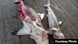 Five species of sharks traded for their meat and fins have been listed in CITES. Credit: M Burgener / TRAFFIC
